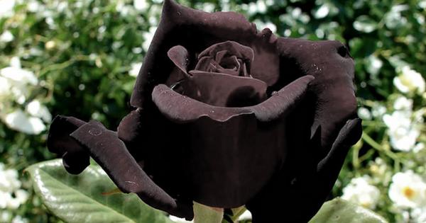世にも珍しい天然の黒バラ。もらった人が注意しなければならない理由とは?