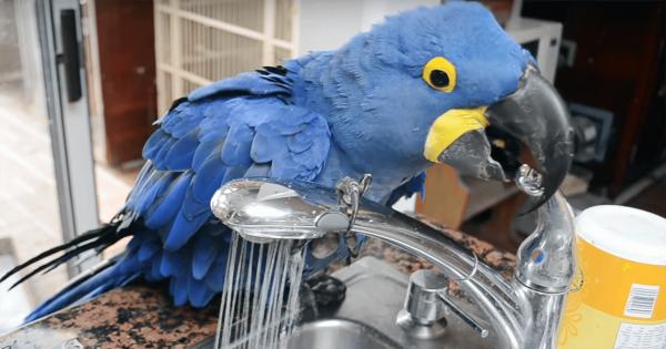 「水浴びでもしようかな」自分で蛇口をひねって水を出すインコがスゴすぎる