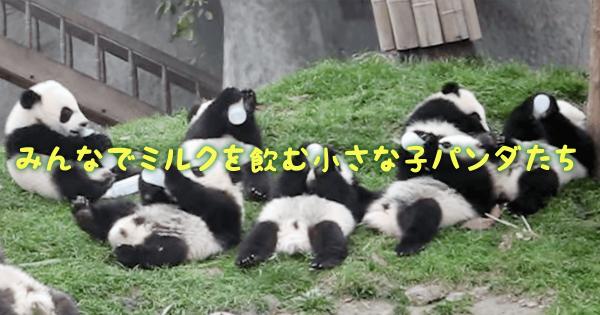 可愛すぎる光景!みんなでミルクを飲む小さな小パンダたちに胸キュンが止まらない