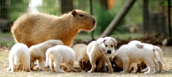 カピバラが新しいお母さん?子犬たちを優しく世話する姿にほっこり