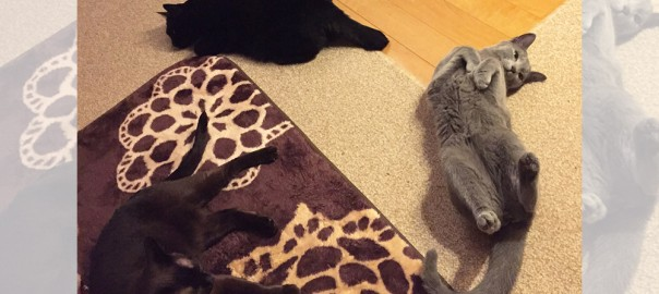 【今日のにゃんこ】猫ちゃんズとHAPPYな毎日「うにこちゃん・リリィちゃん・ルーシーちゃん」