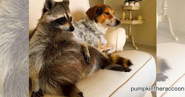 洗い物は手伝ってくれない!(笑) 保護したアライグマがわんこ以上に家族に馴染みすぎている件