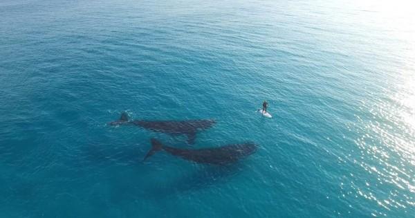 【奇跡的な出会い】波乗りをしているそばで一緒に泳ぐ2頭のクジラに癒される