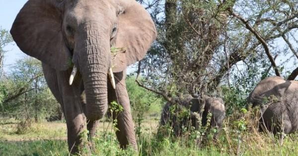 【新発見】ゾウにはガン細胞を抑制する力があることが判明!