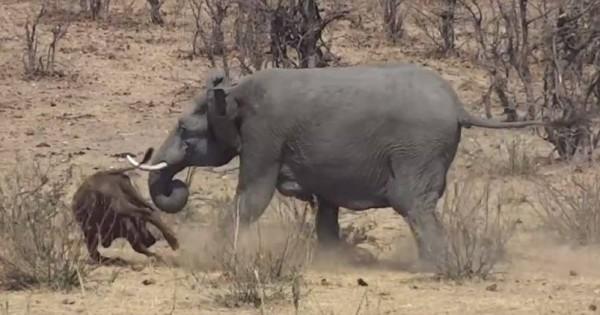 衝撃すぎる光景!サバンナでバッファローを襲うゾウの獰猛さに唖然