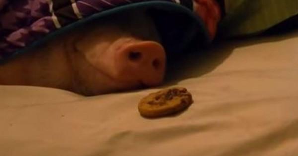 おや?この香りは・・・。クッキーの匂いで目を覚ますブタちゃんが可愛くて癒される