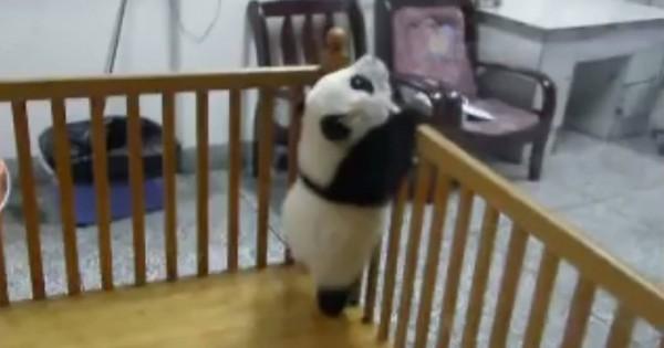 絶対に諦めない!脱走を何度も失敗するパンダの赤ちゃんに笑っちゃう