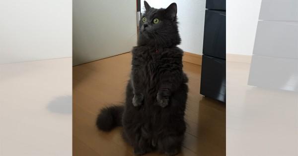 【今日のにゃんこ】ちょこんと立ち上がった姿が愛らしい「ルナちゃん」