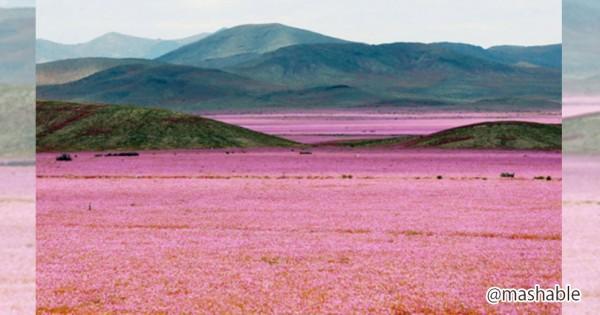 コレ実は砂漠なんです!十数年ぶりの大雨で息を飲むような花のカーペットが現れる