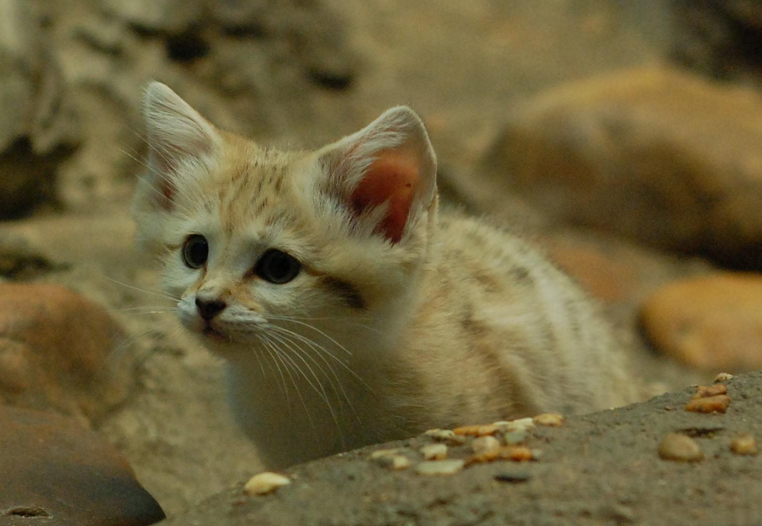 Curious_Sand_Kitten