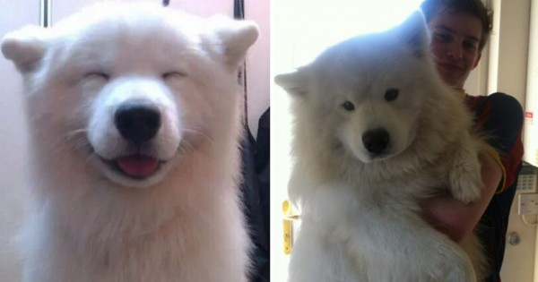 犬好き全員集合!モフモフの身体と笑顔がたまらない「サモエド」の魅力に迫る