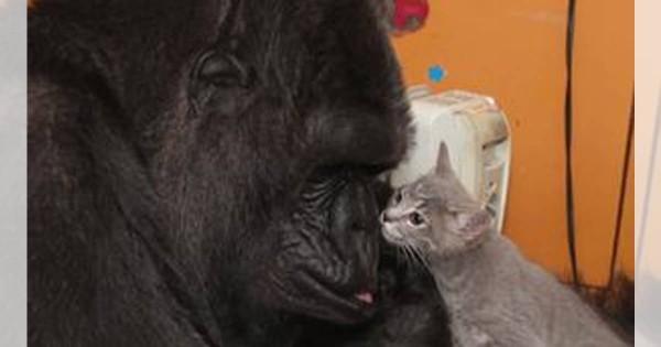 幸せの光景!赤ちゃん大好きなゴリラと子猫の仲睦まじい姿に心が温まる