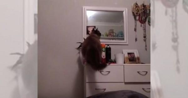 ほらやっぱり!(笑)棚の上に乗ったニャンコのとる行動が笑える