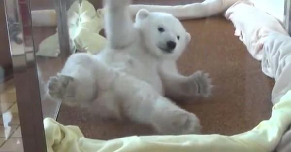 胸キュン必至!起きたいけど起きられないホッキョクグマの赤ちゃんに悶絶