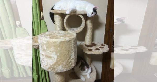 【今日のにゃんこ】ご主人を笑顔にする兄妹猫「こゆきくん&ラテちゃん」