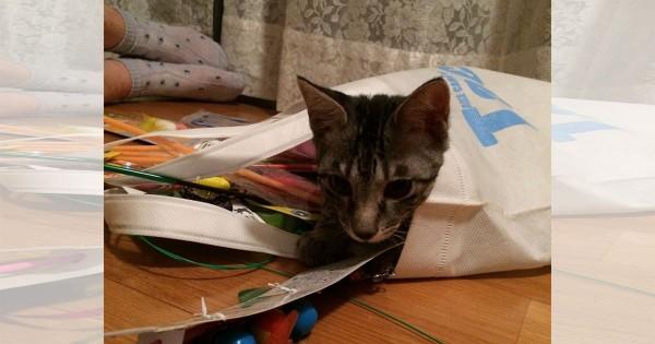 【今日のにゃんこ】生死の境をさまよった遊び盛りのワンパク猫「しぐれちゃん」