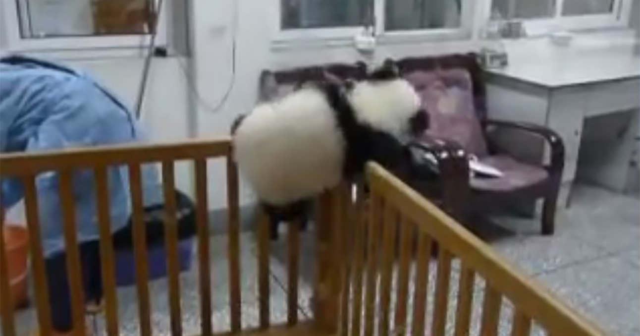 パンダ 脱走1 (1)