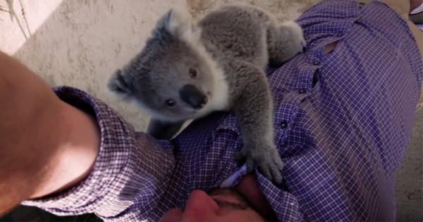 反則級の愛らしさ!カメラマンに抱きつくコアラの赤ちゃんの可愛さがハンパない