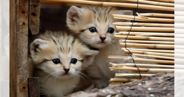 なんだこの天使は!日本では見られない砂漠の猫「スナネコ」が完全に天使な件