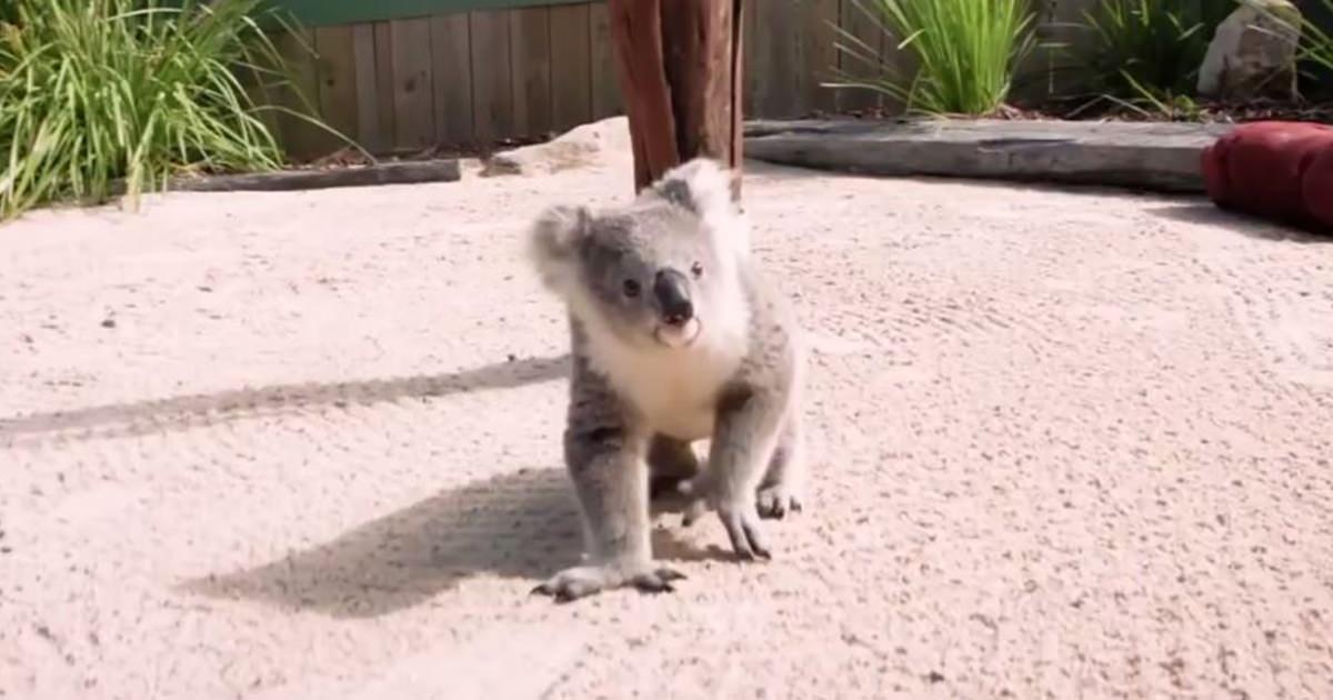 コアラ 赤ちゃん1