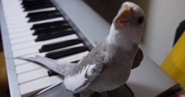 可愛らしい歌声♡ ピアノの演奏に合わせて「となりのトトロ」を歌うオカメインコに拍手したい