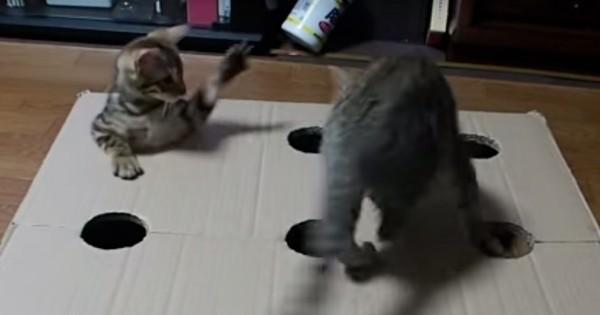 おウチで簡単に作れる!「全自動モグラたたき」で遊ぶ2匹のベンガル子猫が超楽しそう