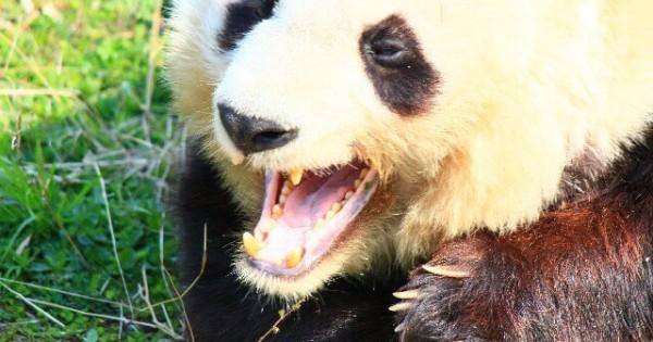 【お腹へったよ】鳴き声を分析してパンダの気持ちを解読することに成功!