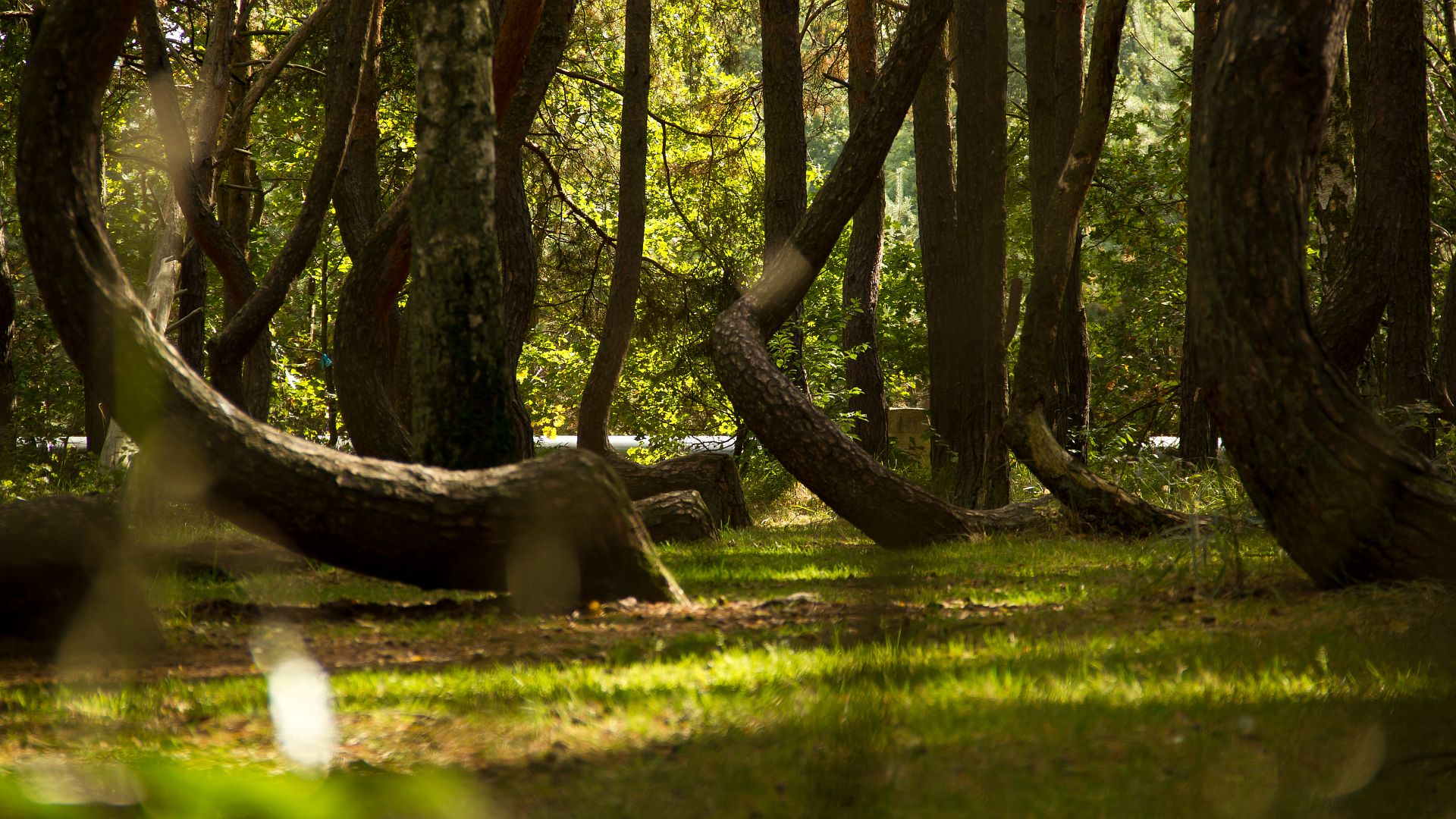 Crooked_Forest_3