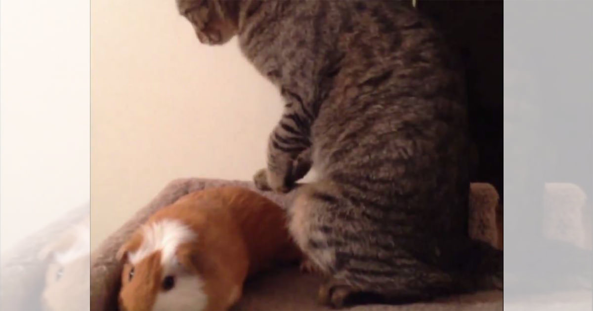 猫 モルモット3