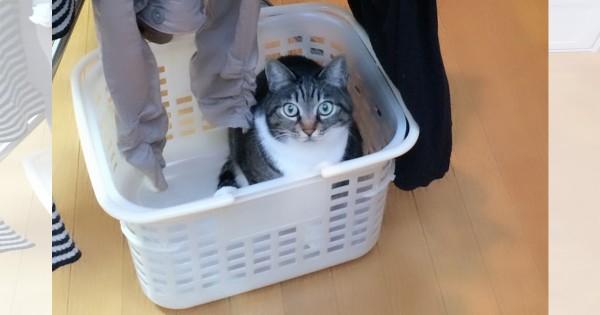 【今日のにゃんこ】家族と遊ぶのが大好きなヤンチャ猫「しゅうちゃん」