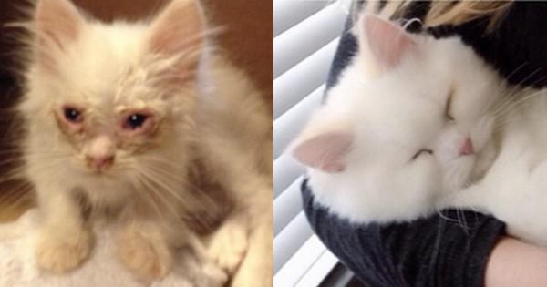 人生が変わった!やせ細って瀕死状態だった白猫が愛を受けてモフモフに急成長