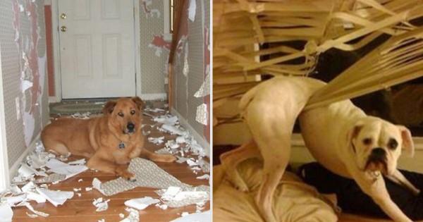 悪気はないんです・・・。ご主人の留守中に犬が家でやっているコト13選