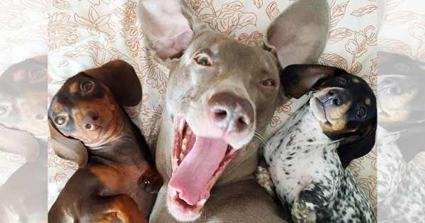 心が癒される!ネットで大人気の可愛すぎる3匹のワンコがとっても仲良しで微笑ましい