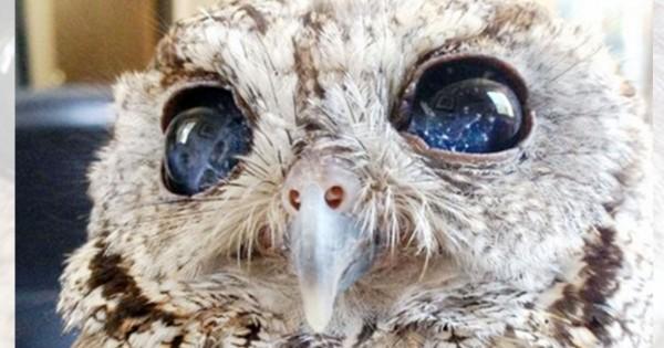 まるで宇宙みたいだ!盲目のフクロウの瞳にはとても美しい世界が宿っていた(画像9枚)