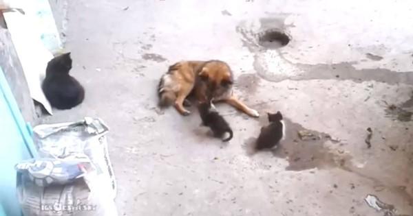 この母猫優しすぎ!自分の子猫を犬と遊ばせる様子が平和すぎる