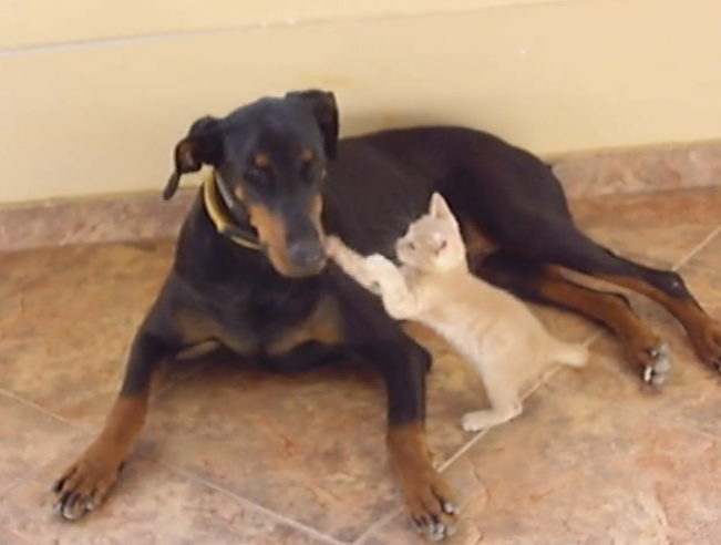 イタズラ好きな幼い子猫を優しくなだめるドーベルマンの動画