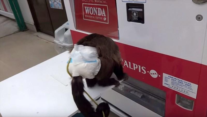 2016年申年! 自販機でジュースを買うオマキザルが、憎たらしいほど賢い!