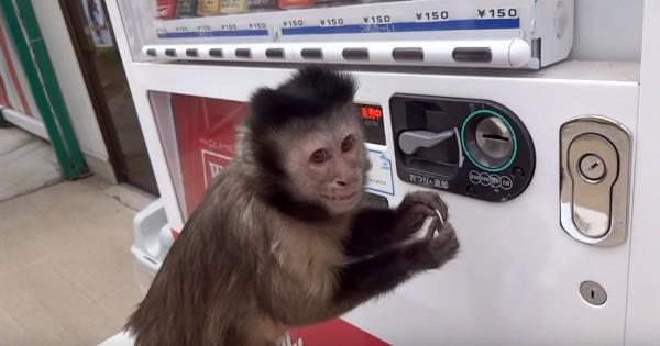 もはや人間! 自販機を完璧に使いこなすオマキザルが天才すぎる!