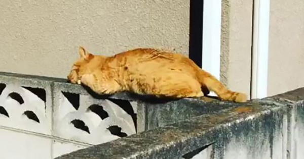 【笑撃のラスト】塀の上で寝ているツッコミどころ満載の猫が話題