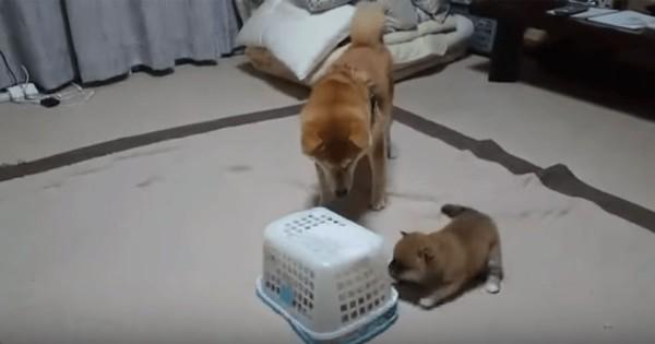 囚われの子犬…!?柴犬一家に起きた突然のハプニングに全員びっくり( ゚д゚)
