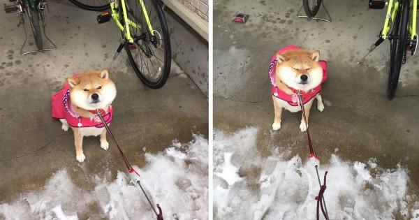 「雪は嫌いだワン!」散歩を嫌がる柴犬の顔がかわいすぎる