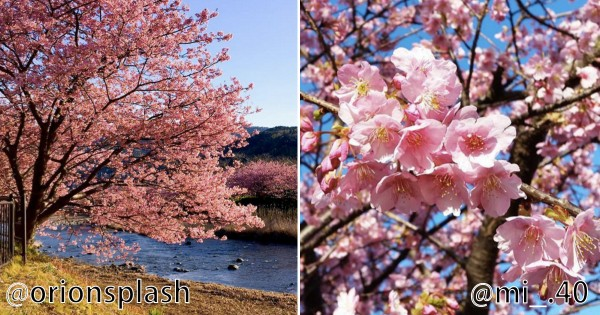【お花見に行こう】早咲きの河津桜が満開!見ごろを迎えているらしい