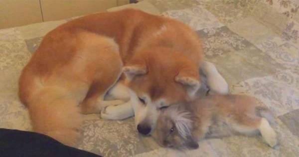 秋田犬が大好きなうさぎ。ピョンピョン飛び跳ね、甘えるように寄り添って寝る姿が可愛い!