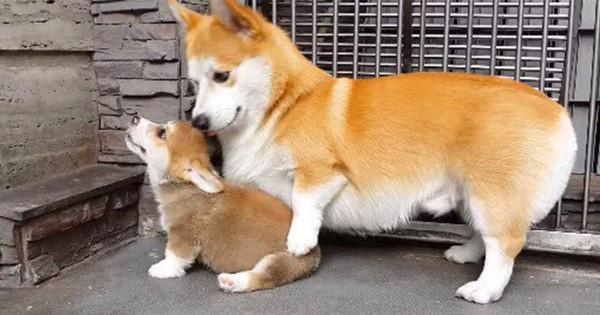 子犬におすわりを教えるお母さん犬。コーギー親子の関係が素敵!