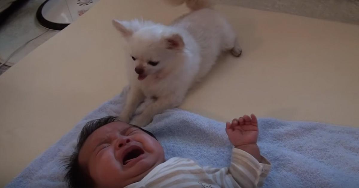 赤ちゃん チワワ