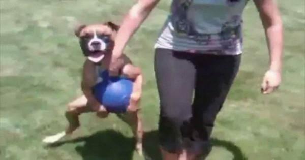 「放したらゲーム終了」ボールを意地でも放さない犬の2足歩行っぷりがおもしろい