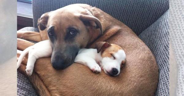 母は強くて優しい!大きな愛で子犬を包み込むママワンコ14選