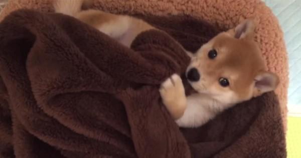 【胸キュン必至】危険なほどかわいい、毛布で「ひとり遊び」する柴犬の子犬♡