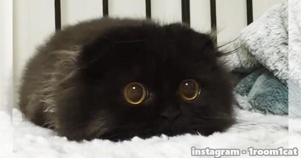 「まっくろくろすけ出ておいで♪」まんまる瞳の黒猫Gimoちゃんが悶絶級のかわいさ