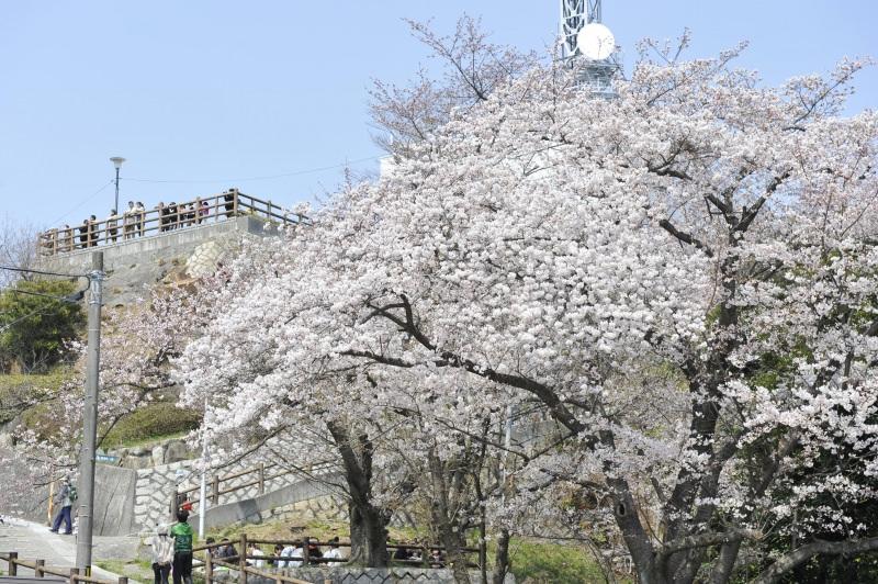 広島 黄金山 桜3